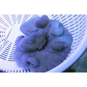 イボハタゴイソギンチャク・ライトブルー-約10cm:状態良好 aqua-angel-shop