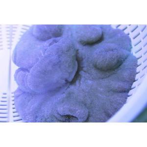 イボハタゴイソギンチャク・ライトブルー-約10cm:状態良好 aqua-angel-shop 03
