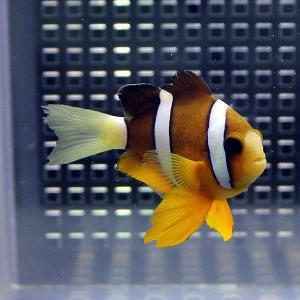 クマノミ【1匹】! 海水魚 クマノミ 餌付け 15時までのご注文で当日発送【クマノミ】|aquagift