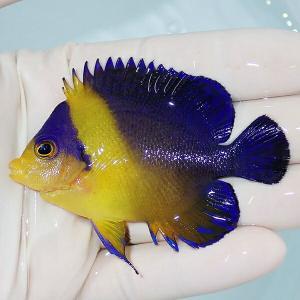【現物1】 スミレヤッコ 8.2cm±! 海水魚 ヤッコ 15時までのご注文で当日発送【ヤッコ】|aquagift