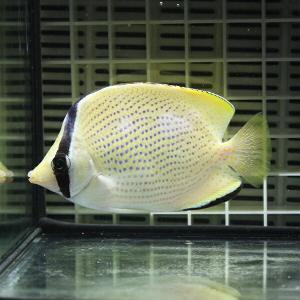 ゴマチョウチョウウオ 5-7cm±! 海水魚 チョウチョウウオ 餌付け!15時までのご注文で当日発送【チョウチョウウオ】|aquagift