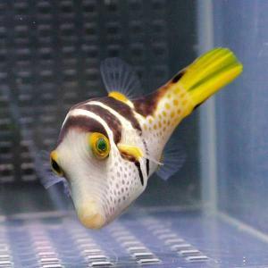シマキンチャクフグ 4-6cm【1匹】! 海水魚 フグ 餌付け 【フグ】|aquagift