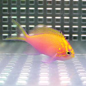 ハナゴンベ 【1匹】 4-6cm± ! 海水魚 ゴンベ !15時までのご注文で当日発送【ゴンベ】|aquagift