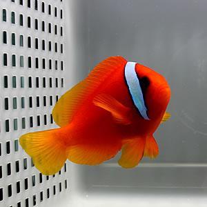 ハマクマノミ (A-0234) 海水魚 サンゴ 生体