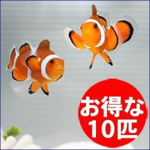 カクレクマノミ 10匹セット 2-4cm±! 海水魚 クマノミ 15時までのご注文で当日発送【クマノミ】|aquagift