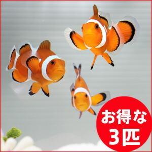 カクレクマノミ 3匹セット 3-4cm±! 海水魚 クマノミ 餌付け 15時までのご注文で当日発送【クマノミ】|aquagift