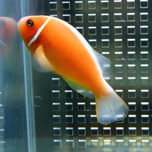 ハナビラクマノミ 【1匹】 !海水魚 クマノミ 餌付け 15時までのご注文で当日発送【クマノミ】|aquagift