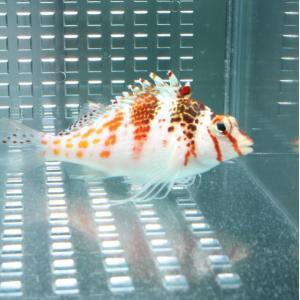 サラサゴンベ 【1匹】 (A-0290) 海水魚 サンゴ 生体