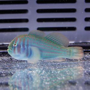 ベニサシコバンハゼ 2-3m± 海水魚 ハゼ(A-0294) 海水魚 サンゴ 生体