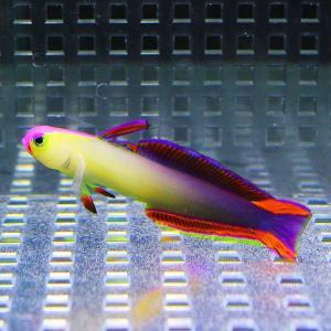 アケボノハゼ 4-6cm± 【1匹】 ! 海水魚 ハゼ 餌付け 【15時までのご注文で当日発送【ハゼ】|aquagift