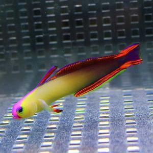 アケボノハゼ 4-6cm± 【1匹】 ! 海水魚 ハゼ 餌付け 【15時までのご注文で当日発送【ハゼ】|aquagift|02