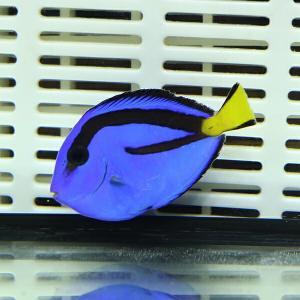 ナンヨウハギ Sサイズ 3-4.5cmぐらい!  ハギ 海水魚 餌付け【ハギ】|aquagift