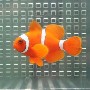スパインチークアネモネ【1匹】! 海水魚 クマノミ 餌付け 【PHセール対象】【クマノミ】|aquagift