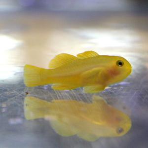 キイロサンゴハゼ 【3匹セット】 1.5-3cm± 海水魚 ハゼ 海水魚 サンゴ 生体