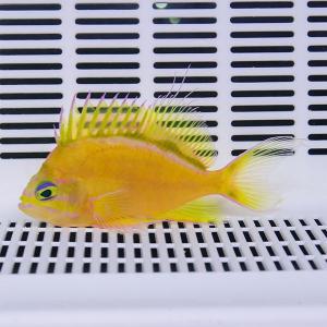 イエローアンティアス 7.5cm ! 海水魚 ハナダイ 15時までのご注文で当日発送【ハナダイ】|aquagift
