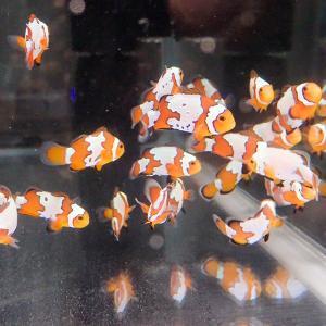 スノーフレークオセラリス【1匹】2.5-3cm± 色指定不可 ! 海水魚 クマノミ 餌付け 15時までのご注文で当日発送【クマノミ】|aquagift