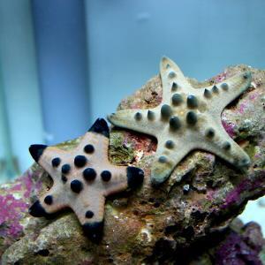 コブヒトデ 【3匹】! 海水魚 フリソデエビの餌 !【15時までのご注文で当日発送】【ヒトデ】