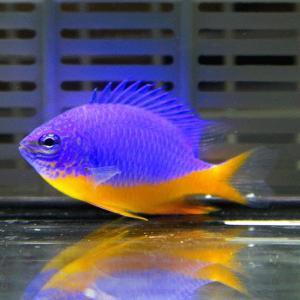 ロイヤルダムゼル 3-4cm !海水魚 生体 餌付け済 15時までのご注文で当日発送【スズメダイ】|aquagift