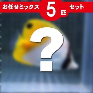 チョウチョウウオ MIX 5匹セット!海水魚 生体 チョウチョウウオ 15時までのご注文で当日発送【チョウチョウウオ】