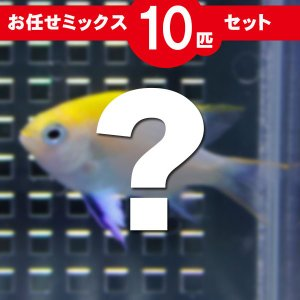 スズメダイ MIX 10匹セット 海水魚 サンゴ 生体