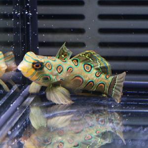 スポッテッドマンダリン 4-5cm±!海水魚 マンダリン 餌付け【マンダリン】|aquagift