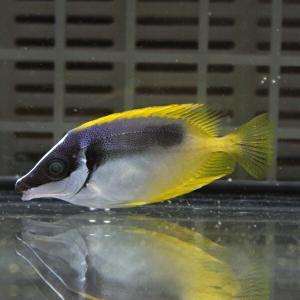 ヒフキアイゴ 4-5cm±! 海水魚 アイゴ餌付け 【ハギ】|aquagift