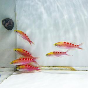 アサヒハナゴイ 5-7cm± 5匹セット!海水魚 ハナダイ 餌付け15時までのご注文で当日発送【PHセール対象】【ハナダイ】