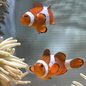 カクレクマノミ Mサイズ 【1匹】 4-6cm±! 海水魚 クマノミ 餌付け★!15時までのご注文で...