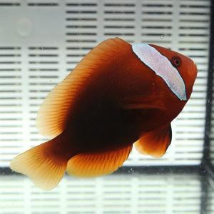 ハマクマノミ雌 6-8cm±! 海水魚 クマノミ 餌付け 【クマノミ】|aquagift