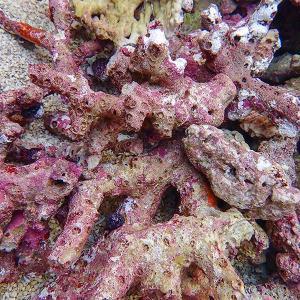 太枝ライブロック 1キロ  海水魚 サンゴ 生体