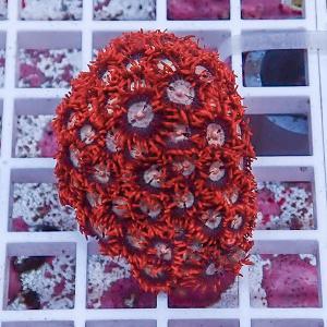 【サンゴ現物24】マメスナギンチャク (B-0862) 海水魚 サンゴ 生体|aquagift