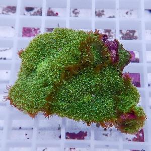 【サンゴ現物2】ディスクコーラル (B-0870) 海水魚 サンゴ 生体|aquagift