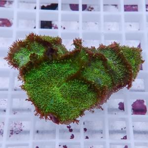 【サンゴ現物4】ディスクコーラル (B-0904) 海水魚 サンゴ 生体|aquagift