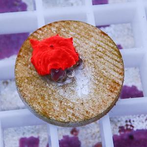 【サンゴ現物8】ディスクコーラル (B-0908) 海水魚 サンゴ 生体|aquagift