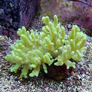 【サンゴ現物1】トサカ.sp 8-7cm沖縄産(B-0918) 海水魚 サンゴ 生体|aquagift