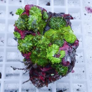 【サンゴ現物16】ディスクコーラル (B-0966) 海水魚 サンゴ 生体|aquagift