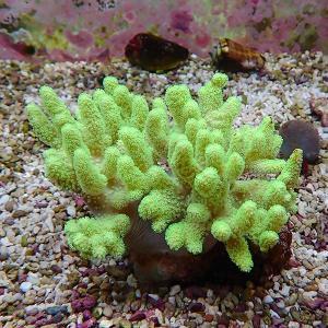 【サンゴ現物5】トサカ.sp 10-10cm沖縄産(B-1039) 海水魚 サンゴ 生体|aquagift