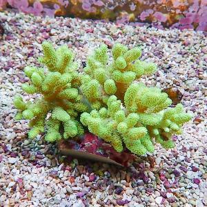 【サンゴ現物9】トサカ.sp 8-7cm沖縄産(B-1043) 海水魚 サンゴ 生体|aquagift