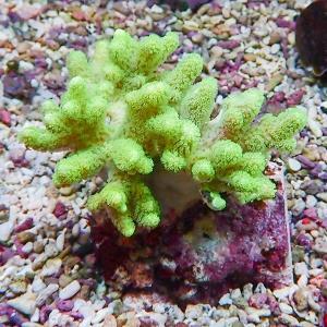 【サンゴ現物11】トサカ.sp 8-7cm沖縄産(B-1045) 海水魚 サンゴ 生体 aquagift