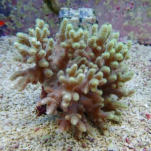 【サンゴ現物12】トサカ.sp 9-7cm沖縄産(B-1046) 海水魚 サンゴ 生体 aquagift