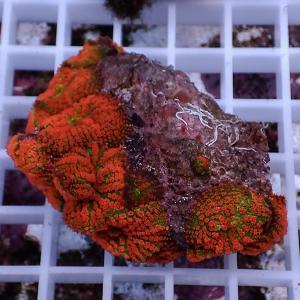 【サンゴ現物29】ディスクコーラル(B-1052) 海水魚 サンゴ 生体|aquagift