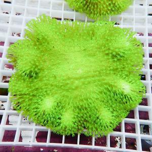 【サンゴ現物8】ウミキノコメタリックグリーン 沖縄産 (B-1135) 海水魚 サンゴ 生体|aquagift