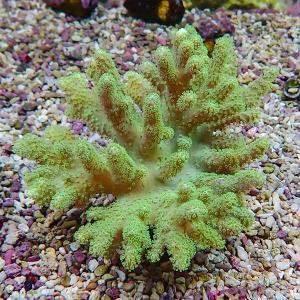 【サンゴ現物15】トサカ.sp 9-8cm沖縄産(B-1161) 海水魚 サンゴ 生体 aquagift