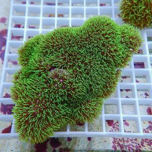 【サンゴ現物1】スターポリプ(B-1171) 海水魚 サンゴ 生体|aquagift