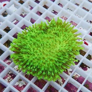 【サンゴ現物13】ウミキノコメタリックグリーン 沖縄産 (B-1204) 海水魚 サンゴ 生体|aquagift