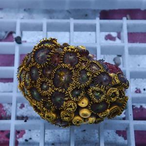 【サンゴ現物74】マメスナギンチャク (B-2192) 海水魚 サンゴ 生体|aquagift