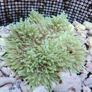 ロングテンタクルアネモネ 色指定不可 15-20cm± 海水魚 サンゴ 生体