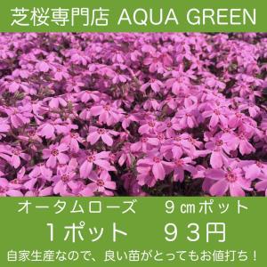 芝桜(シバザクラ) オータムローズ 1ポット ピンクの花