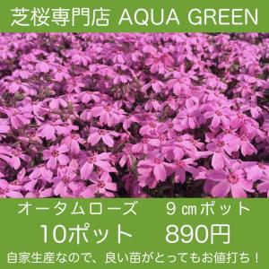 芝桜(シバザクラ)10ポット オータムローズ