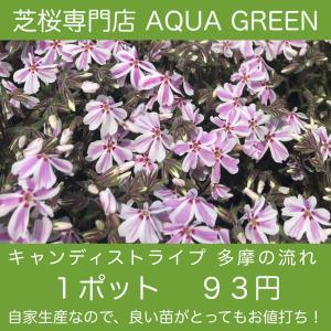芝桜(シバザクラ) キャンディストライプ(多摩の流れ)